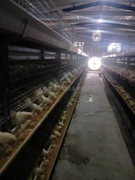 使用自動化養雞設備科學養雞