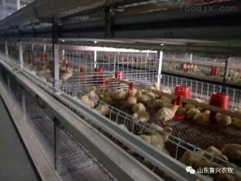 3H61087月31日魯興農牧肉苗雞行情分析